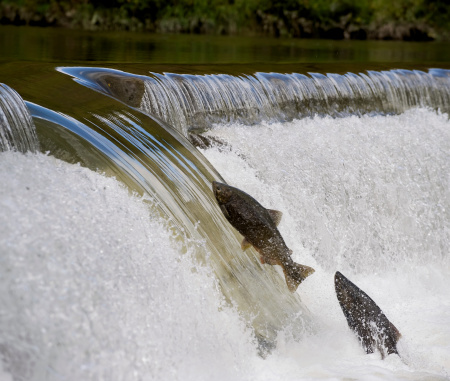 The Salmon Run is the time at which salmon swim back up the river in which the were born to spawn. These two are trying very hard to get
