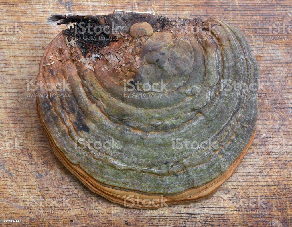 fomes fomentarius fungus stock photo