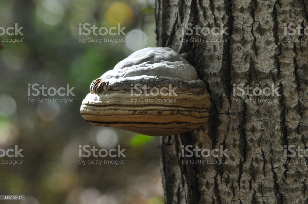 Fomes fomentarius mushroom on tree. stock photo