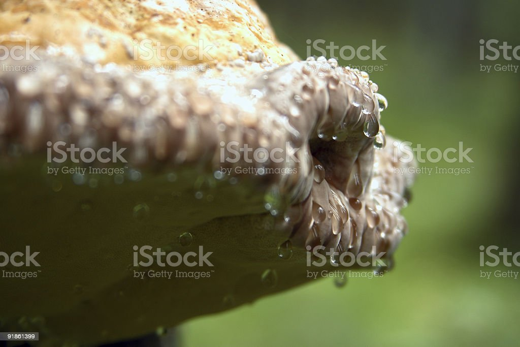 Fomitopsis rosea or Mick Jaggers lips stock photo
