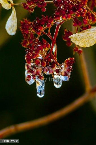Au printemps, une fleur d'hydrangea flétrie laisse les gouttes d'eau gelées fondre.