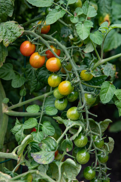 Food Category Fresh Unripe Vine Tomatoes Growing stock photo