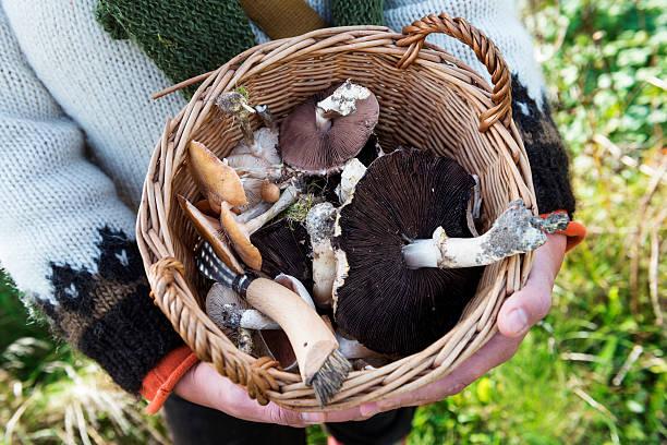 food forager and her haul of mushrooms - höst plocka svamp bildbanksfoton och bilder