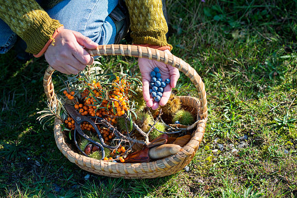 Food Forager in Denmark Close up of a food forager with her haul of foraged food in her basket. Including; havtorn,berries and nuts. Food foraging has become popular in recent years as chefs have turned to foraged food to produce local and seasonal menu's. Photographed on the island of Mon Denmark. Horizontal format, the person is wearing jeans and a jumper photographed in the autumn. foraging stock pictures, royalty-free photos & images