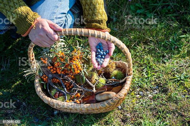 Close up of a food forager with her haul of foraged food in her basket. Including; havtorn,berries and nuts. Food foraging has become popular in recent years as chefs have turned to foraged food to produce local and seasonal menu's. Photographed on the island of Mon Denmark. Horizontal format, the person is wearing jeans and a jumper photographed in the autumn.