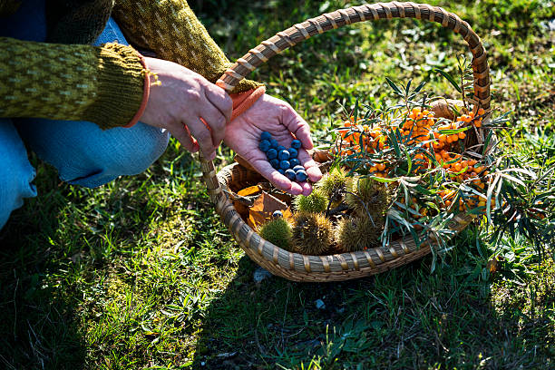 Food Forager in Denmark Food forager with her haul of foraged food in her basket. Food foraging has become popular in recent years as chefs have turned to foraged food to produce local and seasonal menu's. Photographed in Denmark. foraging stock pictures, royalty-free photos & images