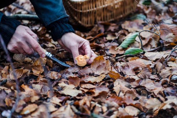 Food Forager looking for hedgehog mushrooms in the forest. Portrait of a food forager who is holding a small hedgehog mushroom in her hand. Varieties in the basket  include; chanterelles as well as hedgehog mushrooms. Food foraging has become popular in recent years as people  have turned to foraged food to cook local and seasonal food. Photographed on the island of Mon Denmark. Horizontal format, the person is wearing green coloured trousers a Fair Isle style sweater and a waxed jacket. foraging stock pictures, royalty-free photos & images