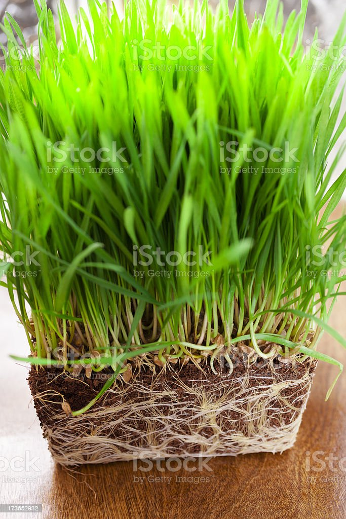 Food:  Fresh organic wheatgrass. Out of pot exposing roots royalty-free stock photo