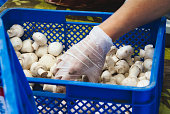 A food handler with latex gloves picking up white button (champignon) mushrooms from a plastic crate