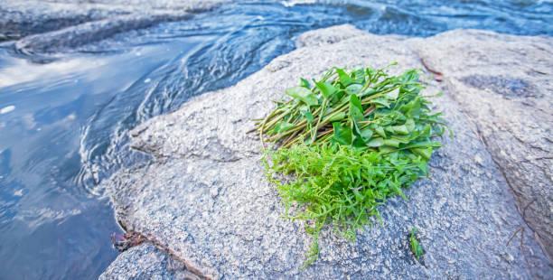 Alimento na natureza, Fern selvagem fresco e espinafre da água na rocha ao longo de um córrego. - foto de acervo