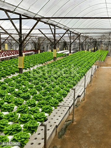 istock Food production in hydroponic plant, lettuce 615420800