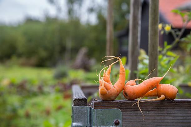 Food_carrots_garden – Foto