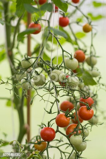 Some cherry tomatos in a greenhouse.