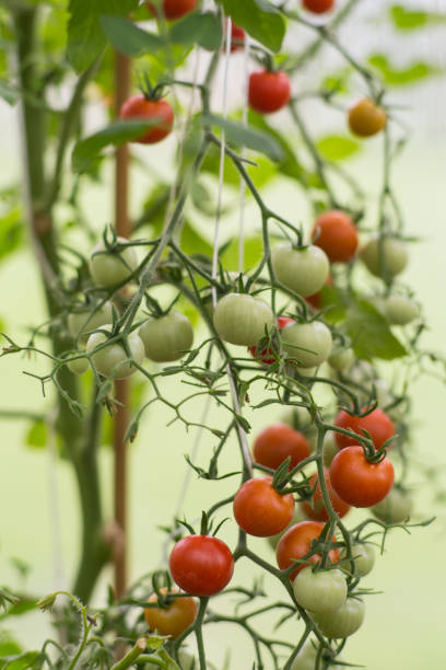 Food_Tomato_organic – Foto