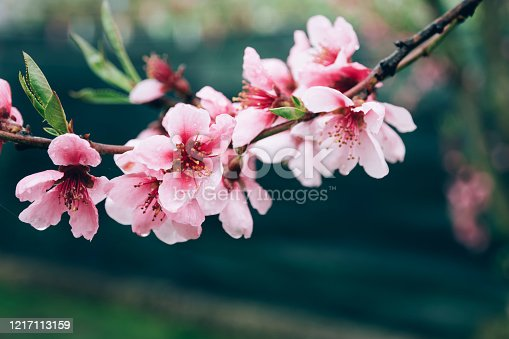 istock Fool bloom branch of pink peach tree flowers over green background. 1217113159
