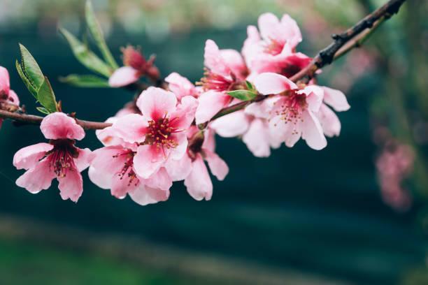 Narrenblüte Zweig von rosa Pfirsich Baum Blumen über grünem Hintergrund. – Foto