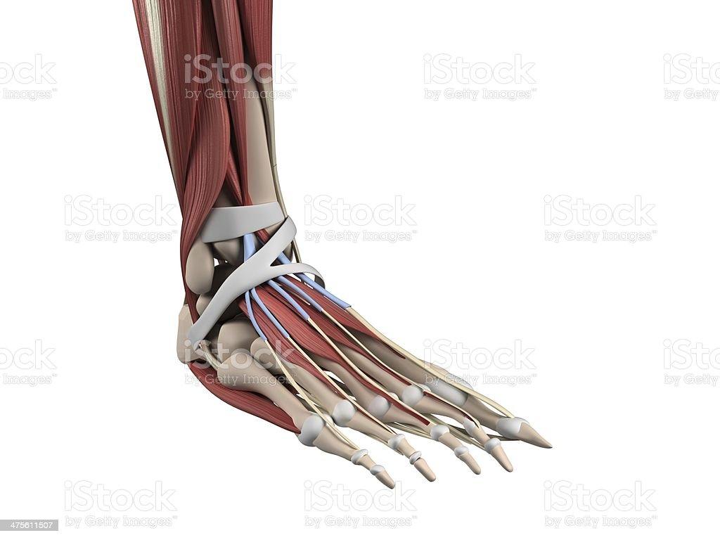 Fuß Anatomie Stock-Fotografie und mehr Bilder von Anatomie | iStock