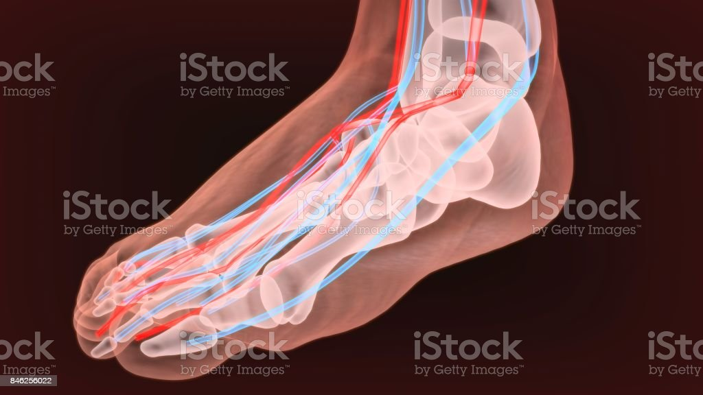 Foot Arteries And Lymphatic System Human Anatomy 3d Illustration ...