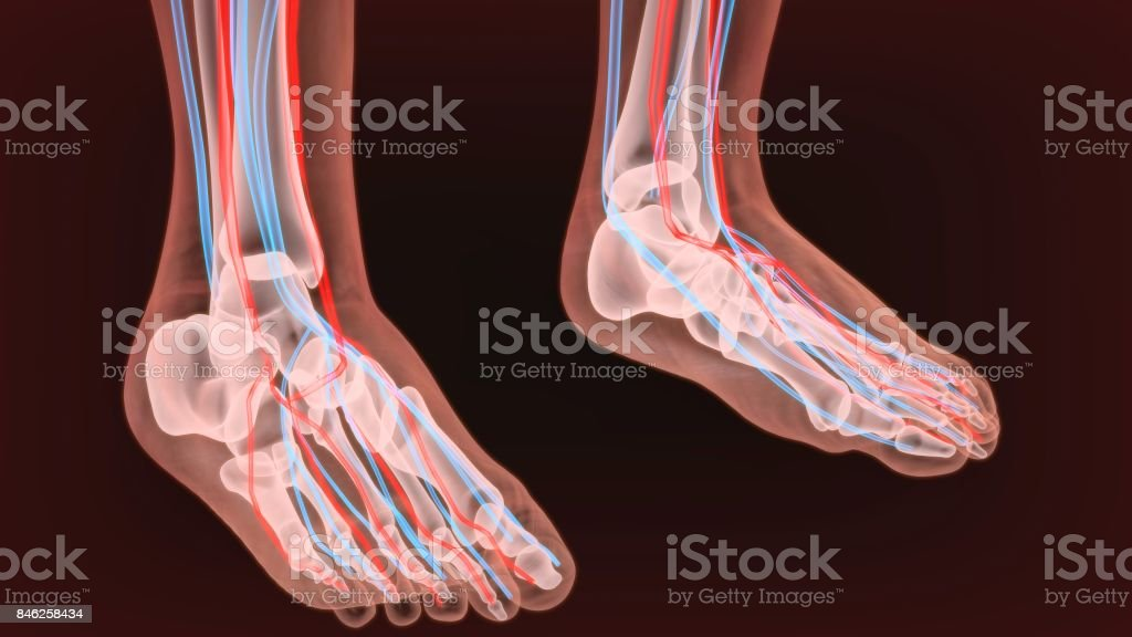 Foot arteries and lymphatic system, human anatomy. 3d illustration. stock photo
