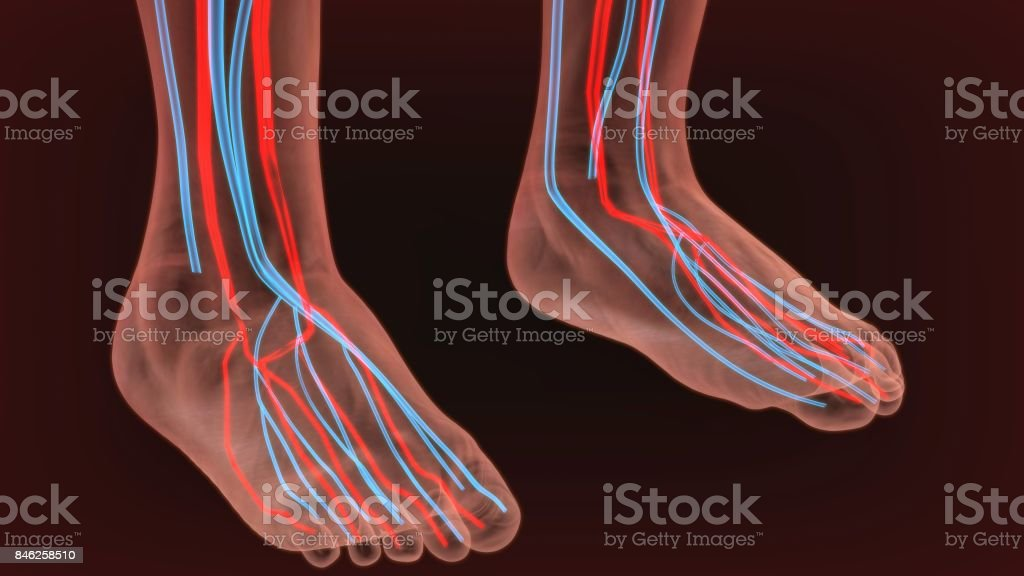 Foot Arteries And Lymphatic System Human Anatomy 3d Illustration