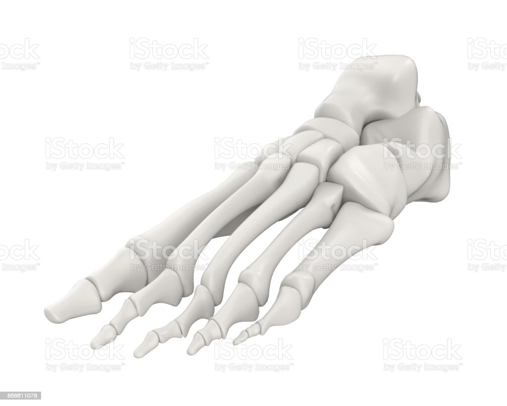 Foot Bones Anatomy Isolated Stock Photo & More Pictures of Achilles ...