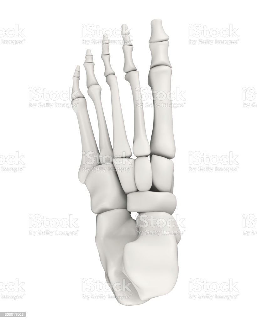 Foot Bones Anatomy Isolated stock photo