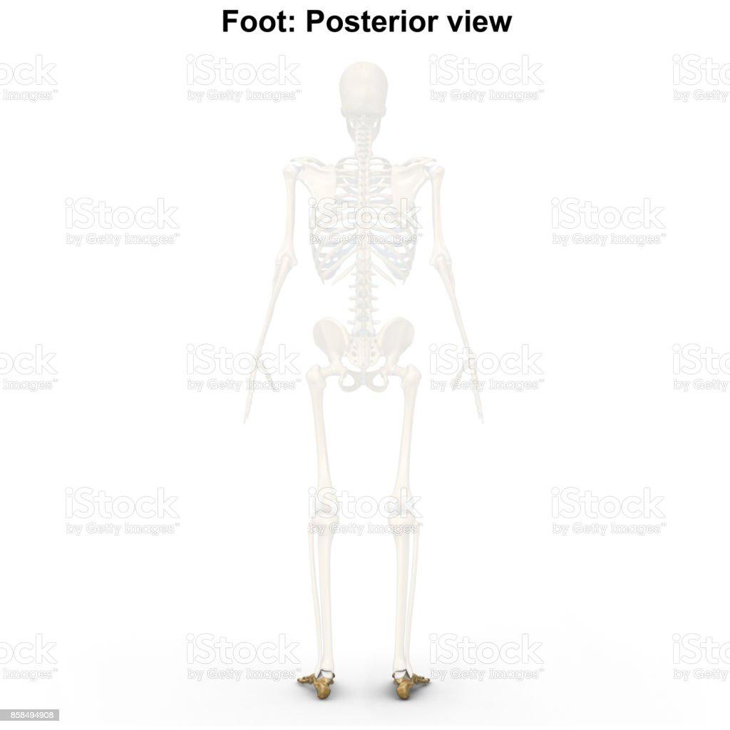 Foot bones stock photo