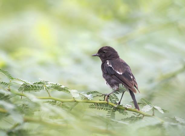 pied bush chat - gibt es morgen regen stock-fotos und bilder