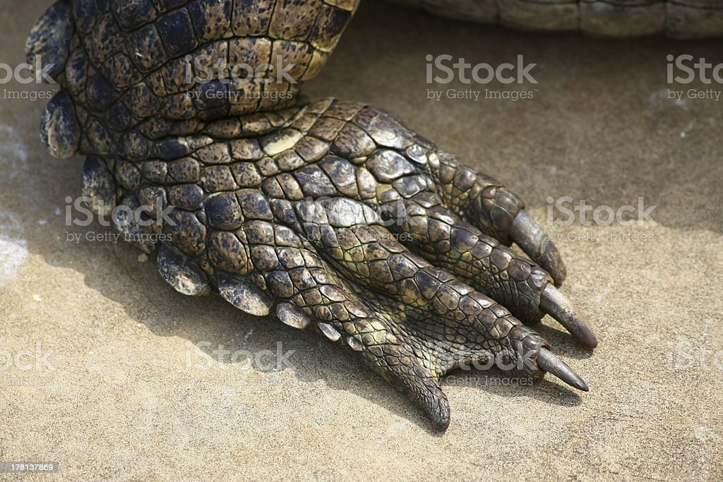 foot crocodile stock photo