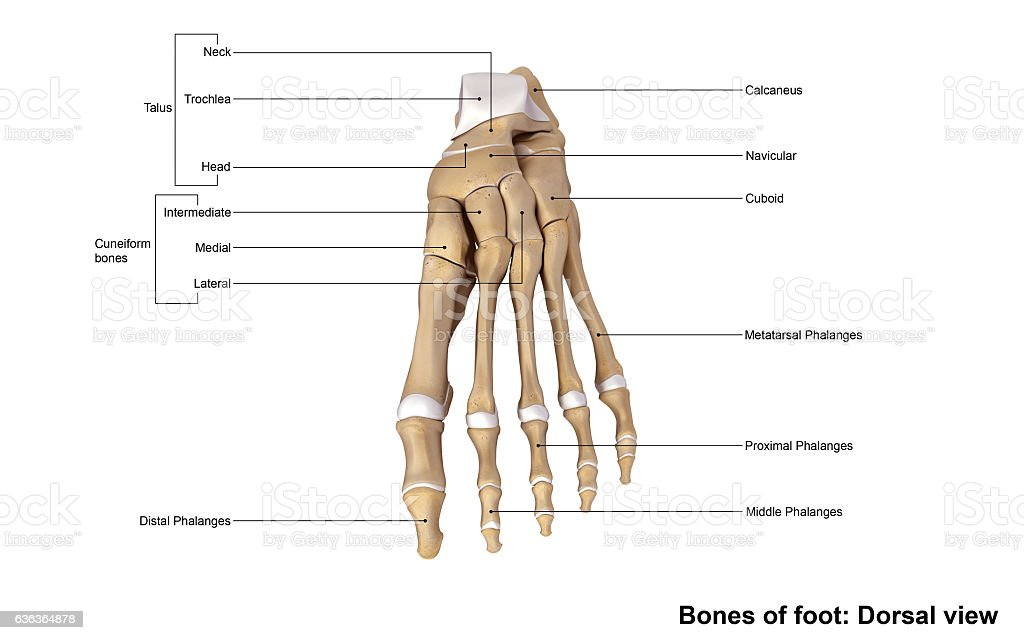 Foot Dorsal View Stock Photo & More Pictures of Accuracy | iStock