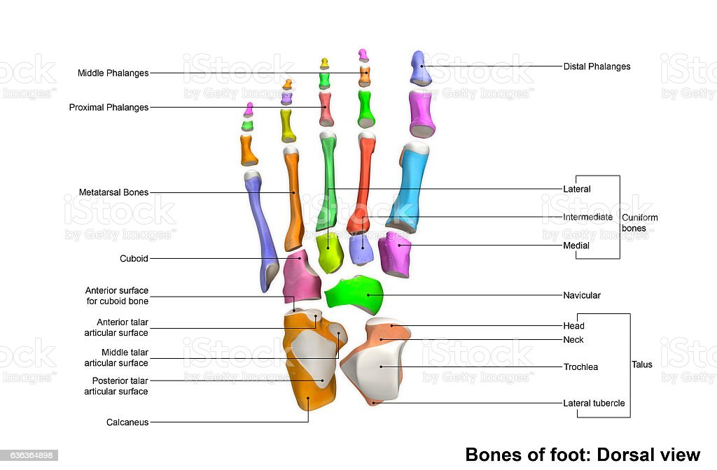Foot Dorsal View Stock Photo More Pictures Of Accuracy Istock
