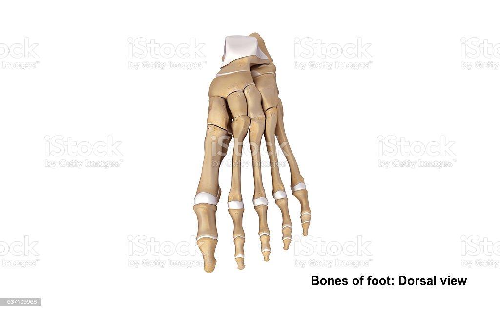 Foot Dorsal View Stockfoto 637109968 | iStock