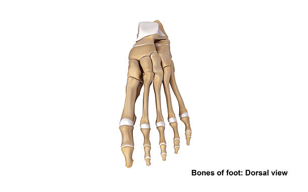 foot dorsal view - os du pied photos et images de collection