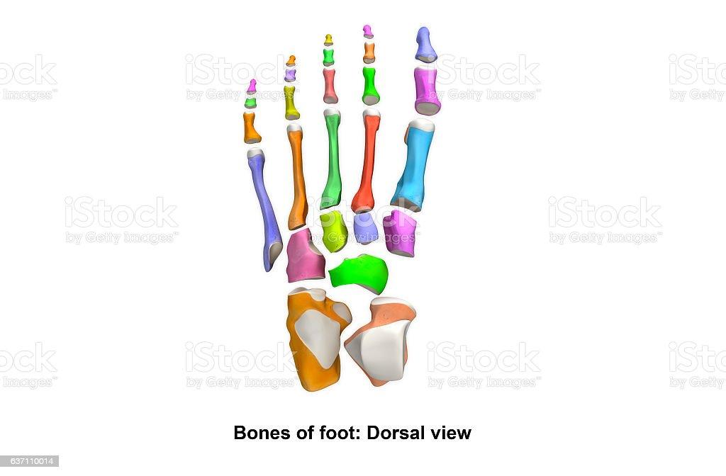 Foot Dorsal View Stock-Fotografie und mehr Bilder von Anatomie | iStock