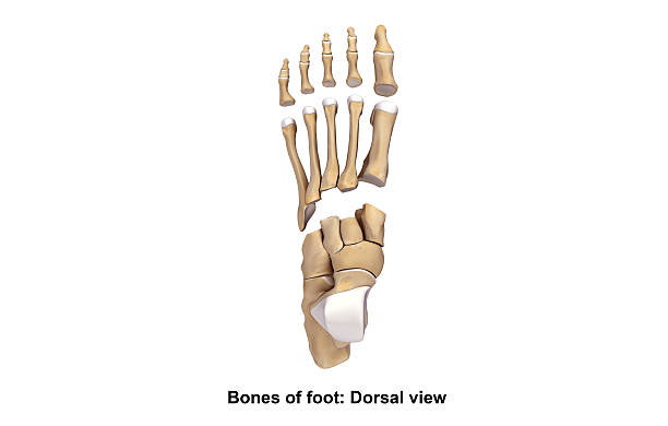 foot dorsal view_2 - os du pied photos et images de collection