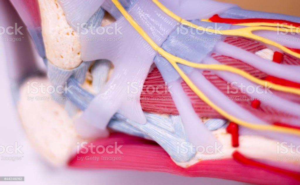Fotografía de Pie Estudio Médico Estudiante Anatomía Modelo ...