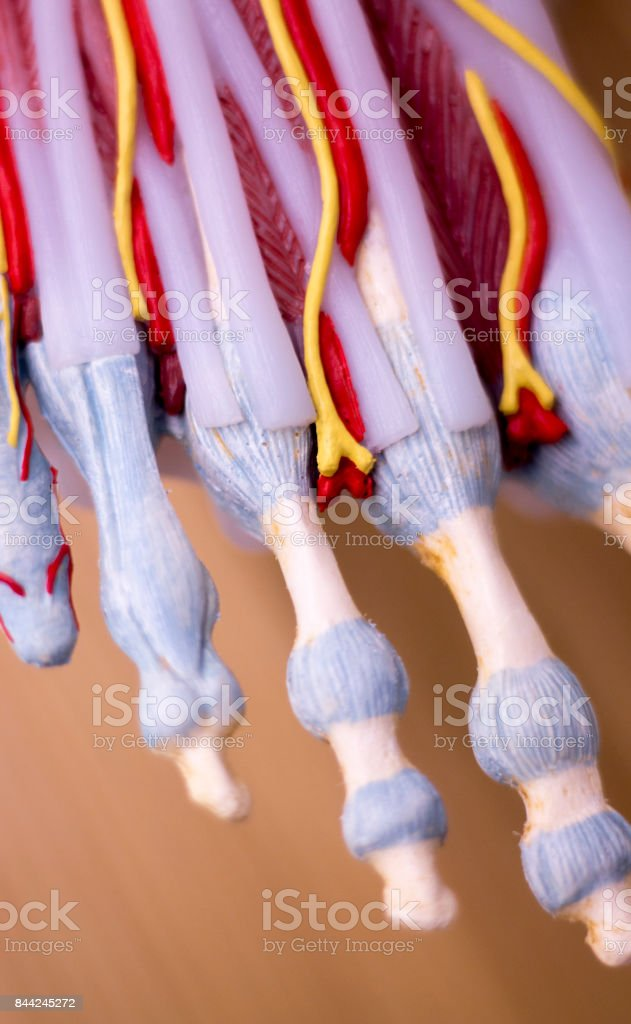 Foot Medical Study Student Anatomy Model Showing Bones Toes Tendons
