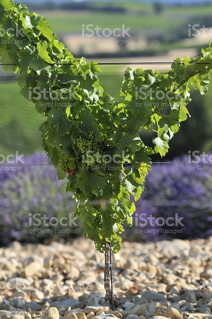 Foot Of Grapevine In The Shape V Stock Photo Download Image Now