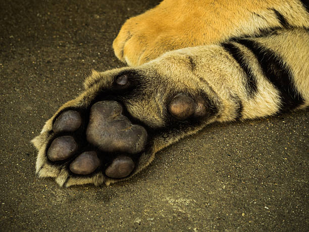 foot of Siberian Tiger stock photo