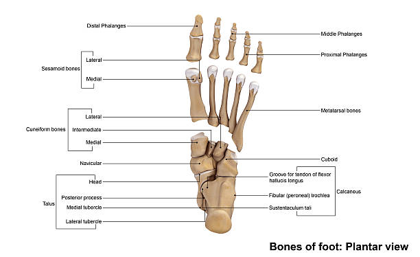 Foot Planter view The human foot is a highly developed, biomechanically complex structure that serves to bear the weight of the body as well as forces many times the weight of the human body during propulsion. dorsal fin stock pictures, royalty-free photos & images