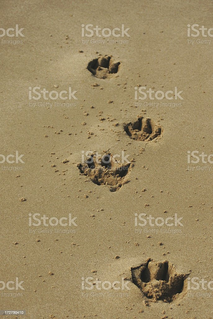 foot prints from a dog on the beach royalty-free stock photo