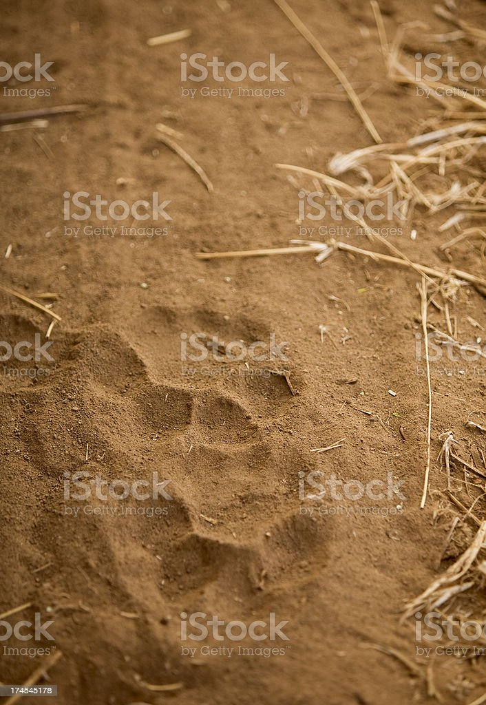 Foot prints of a lion. royalty-free stock photo