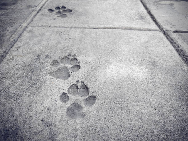 Foot prints of dogs on concrete floor picture id1155225869?b=1&k=6&m=1155225869&s=612x612&w=0&h= jwdyeha gwh1pgjhf6xg1l3ydpozvqwapuwwecpbay=