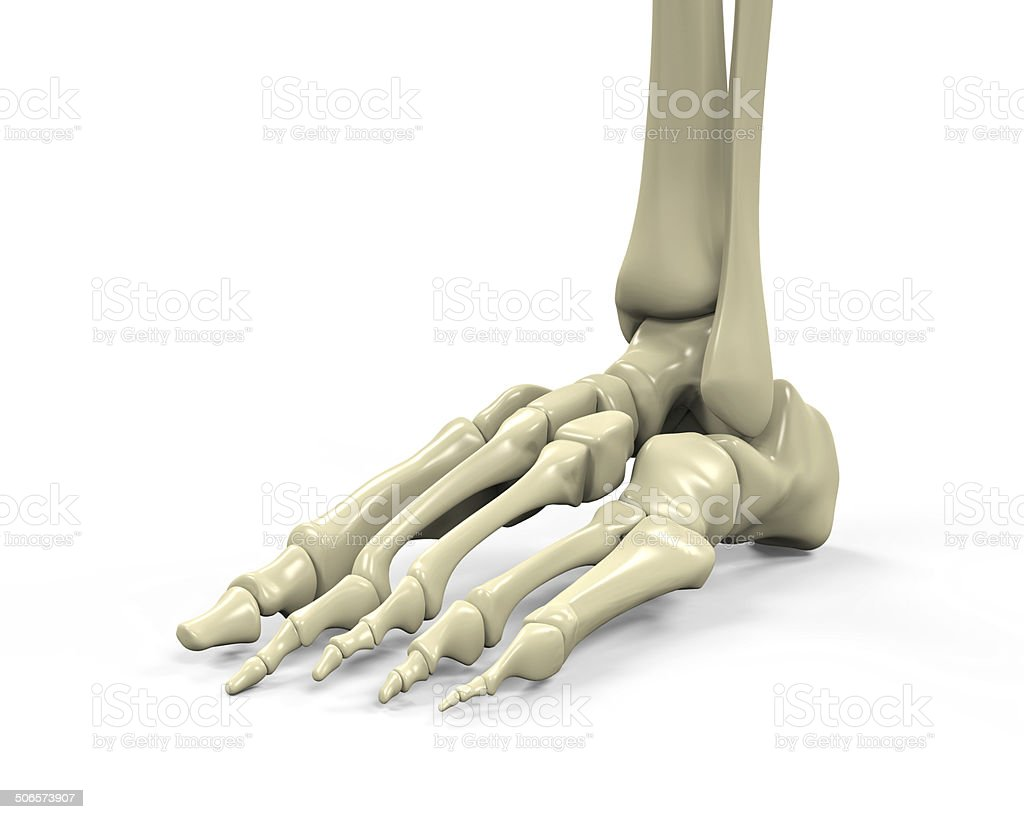 Fotografía de Pie Esqueleto Anatomía y más banco de imágenes de ...