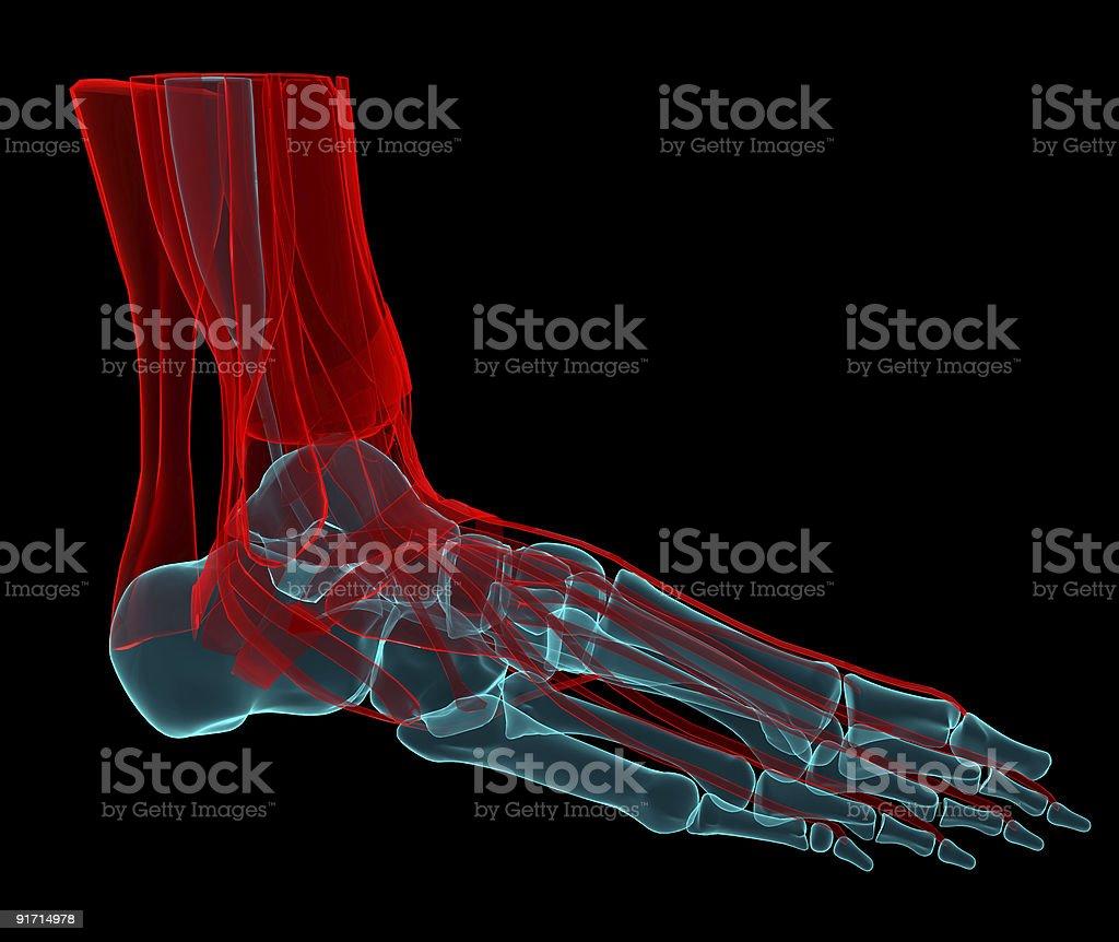 Foot X-ray stock photo
