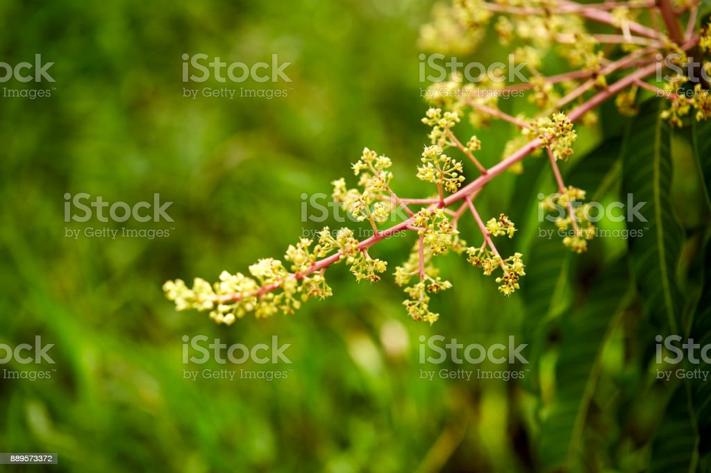 Footage of a mango tree in full bloom stock photo