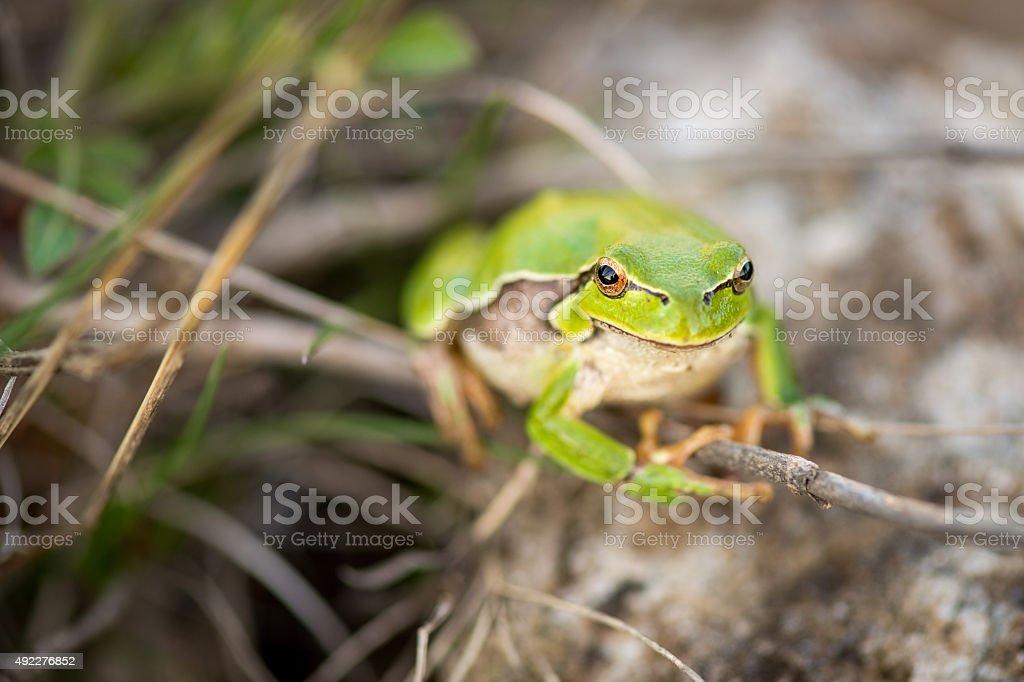 footed tree frog - Hyla Arborea stock photo
