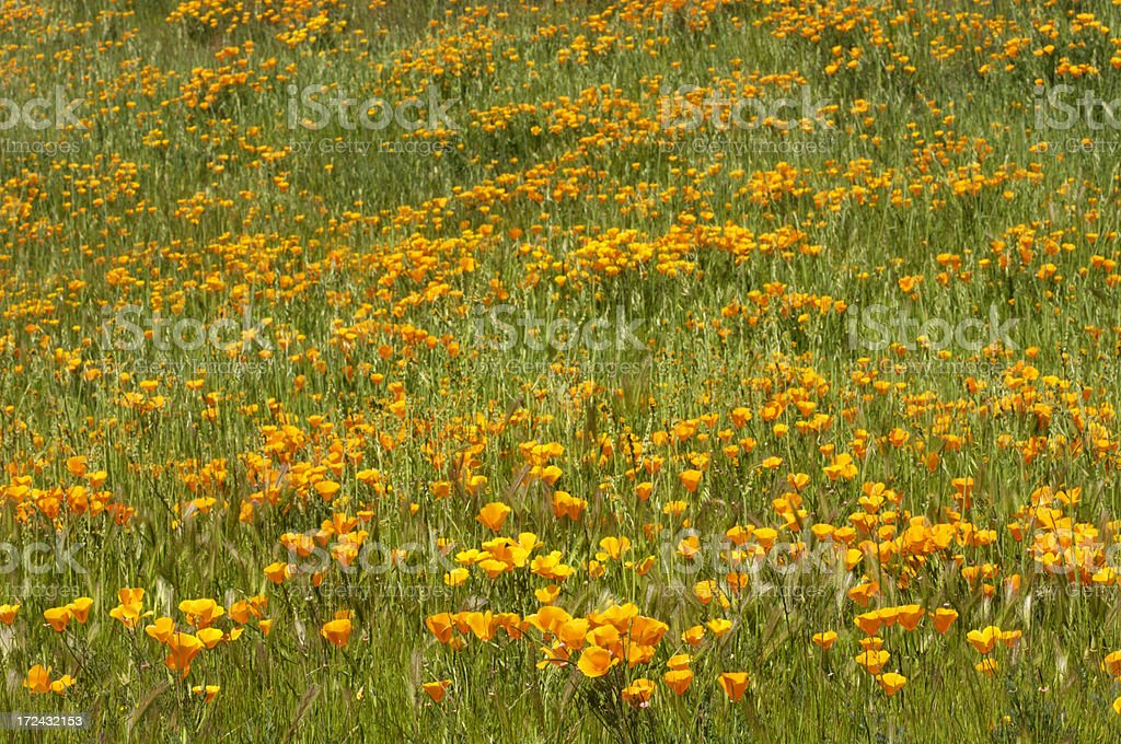 Foothills Covered with Poppy Wildflowers royalty-free stock photo