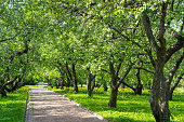 footpath alley through spring apple blooming trees