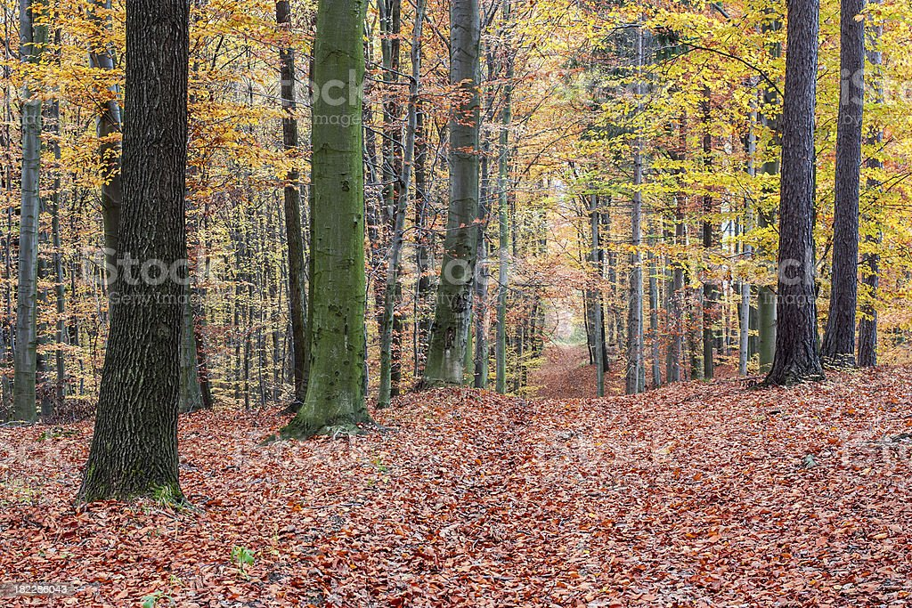 footpath autumn beech forest royalty-free stock photo